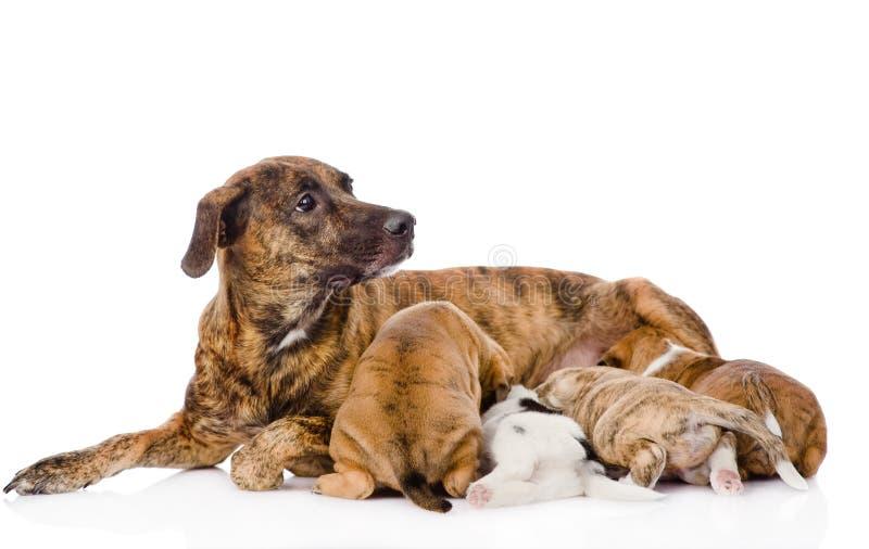 成人狗喂养小狗 背景查出的白色 免版税图库摄影