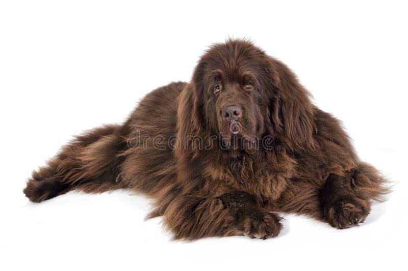 成人狗纽芬兰抢救显示狗 免版税库存照片