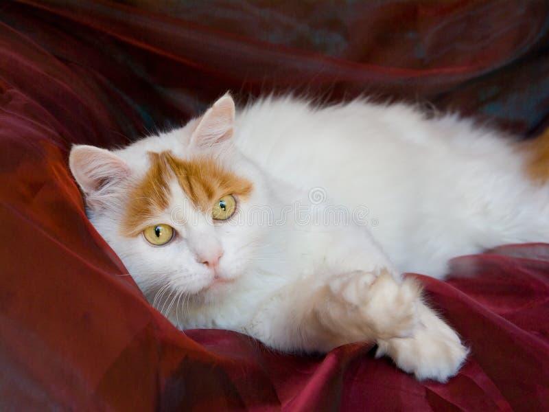 成人猫土耳其有篷货车 免版税库存照片