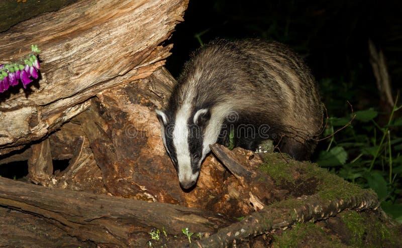 成人獾,獾属獾属,搜寻在注册英国森林 图库摄影