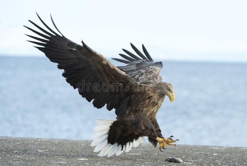 成人白尾老鹰登陆了 蓝天和海洋背景 库存图片