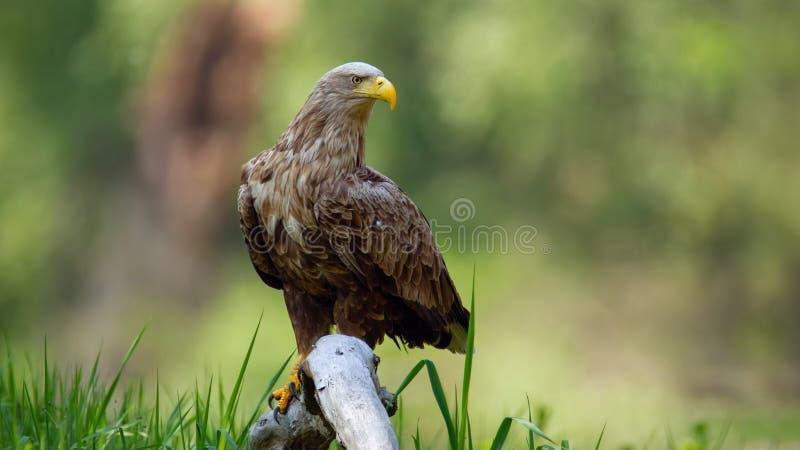 成人白被盯梢的老鹰坐在地面上的大树枝低落在洪泛区森林里 免版税库存图片