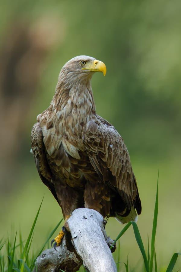 成人白被盯梢的老鹰坐在地面上的大树枝低落在洪泛区森林里 库存照片