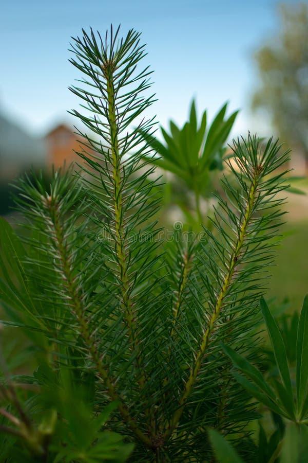 成人羽扇豆的保护的年轻杉木 免版税图库摄影