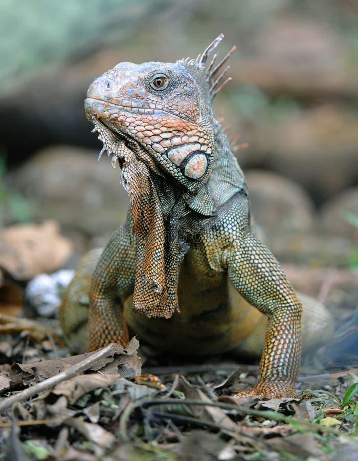 成人肋前缘绿色guanacaste鬣鳞蜥rica 库存图片
