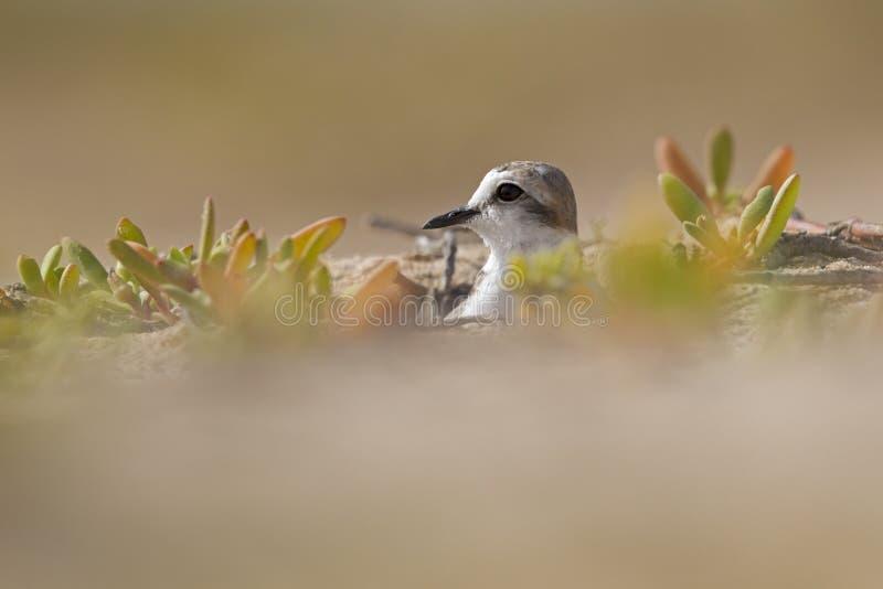 成人肯蒂什珩科鸟Charadrius alexandrinus嵌套在佛得角的海岛上的沙漠 图库摄影