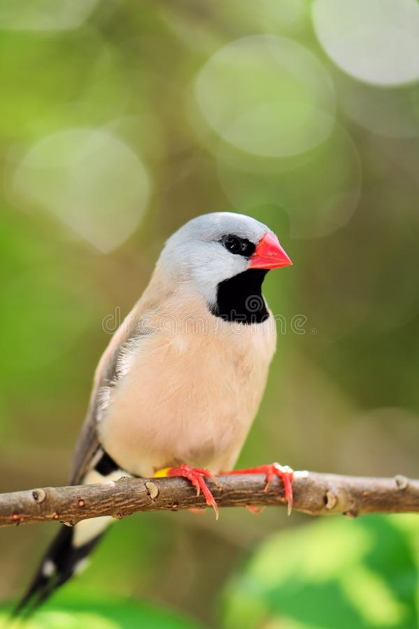 成人长尾的雀科鸟 图库摄影