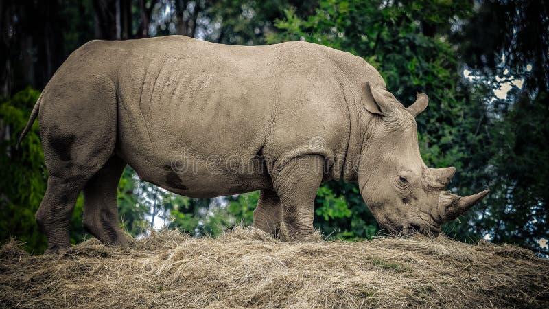 成人非洲犀牛 免版税库存照片