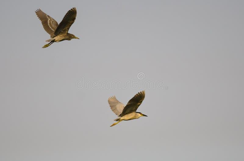 成人黑加冠了与它的年轻人的夜苍鹭飞行在蓝天 免版税库存照片