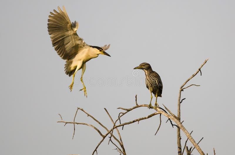 成人黑加冠了在它的年轻人上流旁边的夜苍鹭着陆在树 库存照片