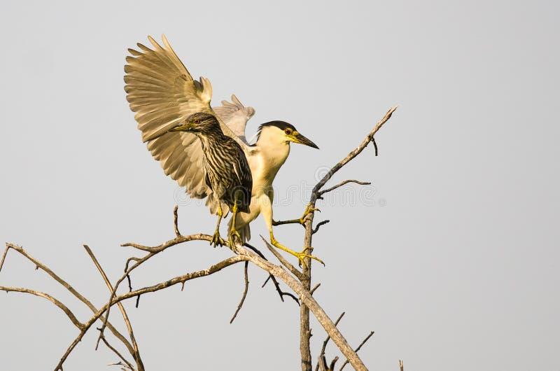 成人黑加冠了在它的年轻人上流旁边的夜苍鹭着陆在树 图库摄影