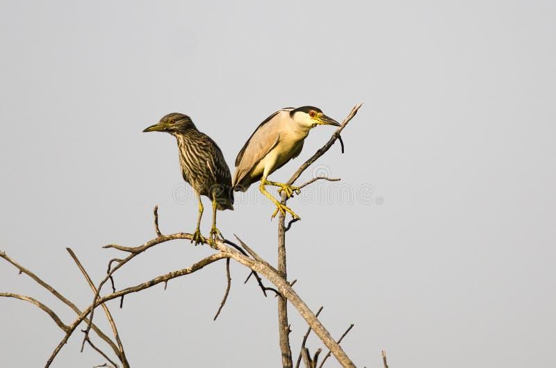 成人黑加冠了在它的年轻人旁边被栖息的夜苍鹭高度在树 免版税图库摄影