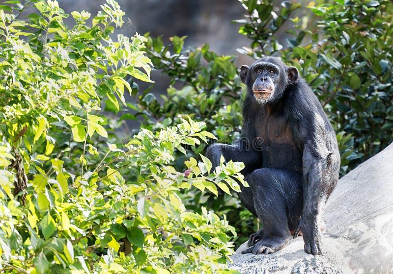 成人黑猩猩,休斯敦动物园,得克萨斯 免版税库存图片