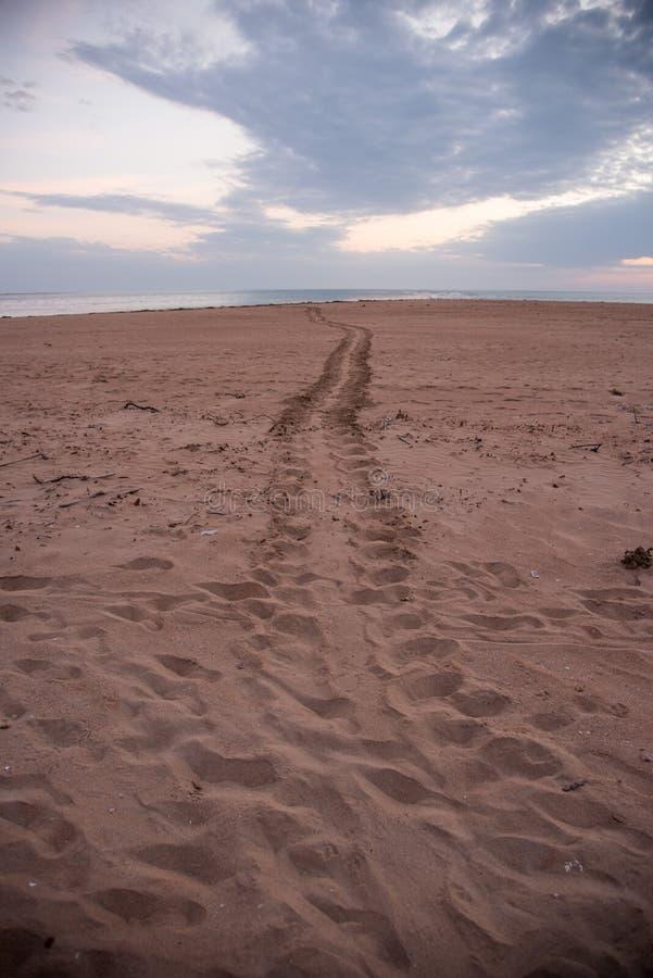 成人Flatback海龟轨道向海 免版税图库摄影