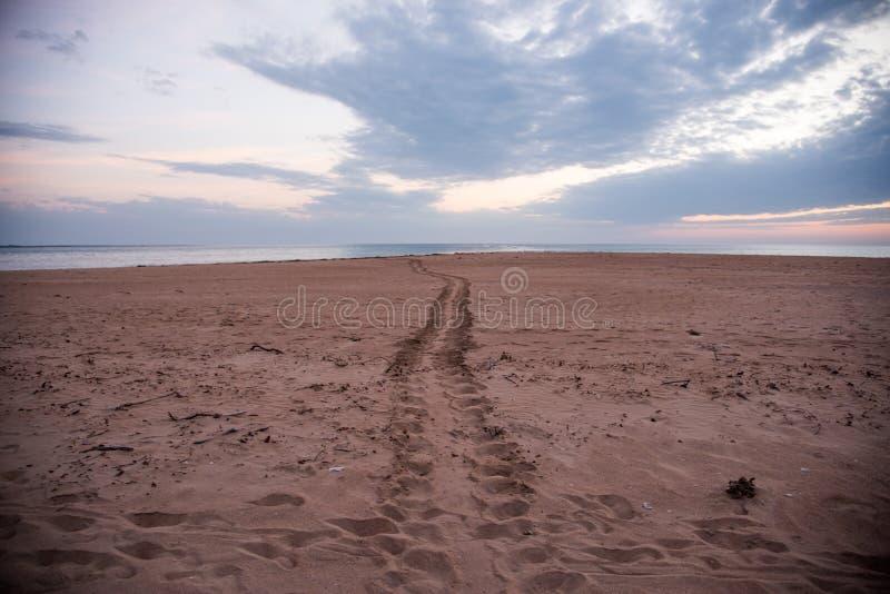 成人Flatback海龟轨道 免版税库存图片