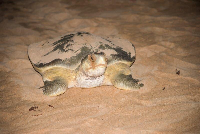 成人Flatback海龟 库存照片