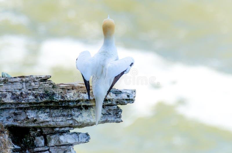 成人gannet鸟嵌套的一个背面图在岩石露出的 库存照片