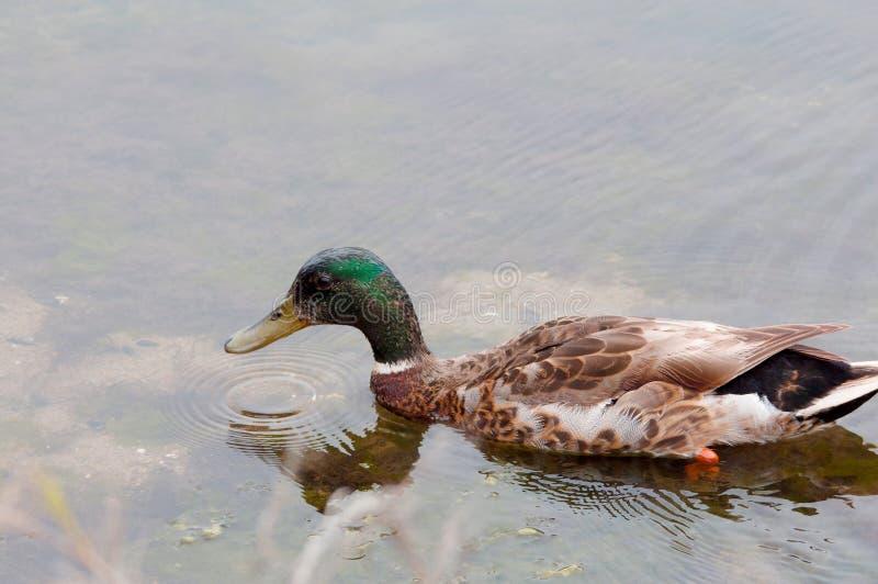 成人mallad鸭子游泳 查找platyrhynchos死水的语录鸭子您 图库摄影