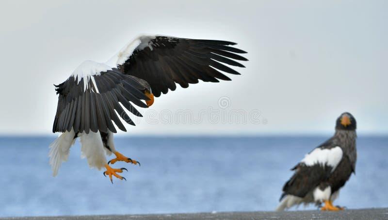 成人Steller ` s海鹰登陆了和翼传播  科学名字:Haliaeetus pelagicus 免版税库存图片