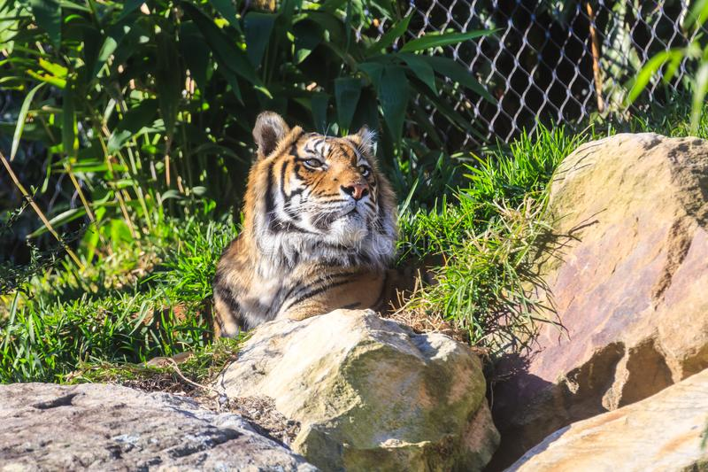 成人Sumatran老虎,放松在动物园封入物 免版税库存照片