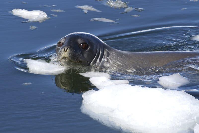 成人Weddell封印浮动在冰之间片断在Antarct 免版税库存图片