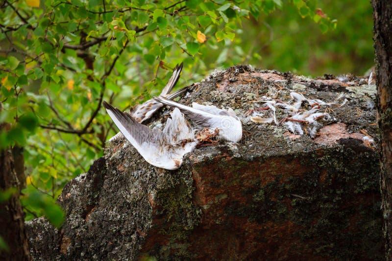 成功的Peregrin猎鹰狩猎的标志 图库摄影