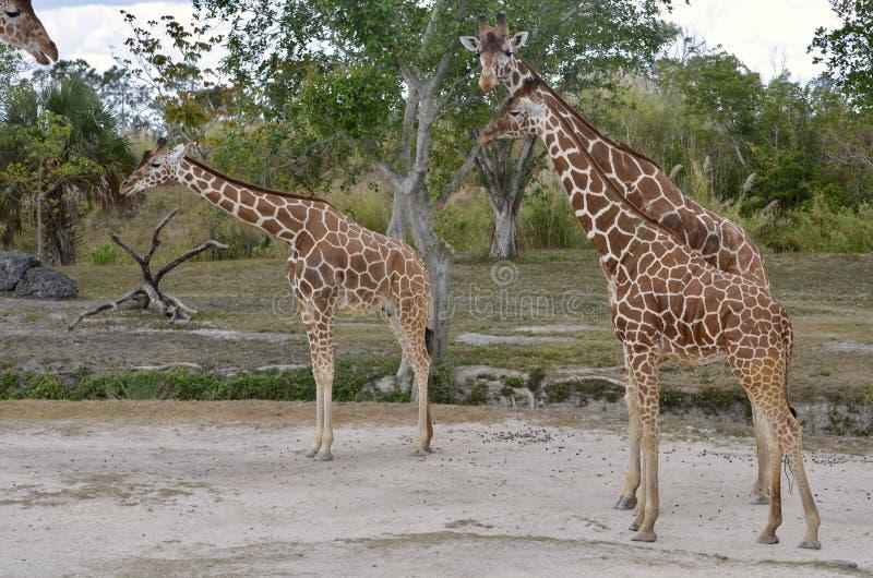 成年女性和两头成年男性长颈鹿 库存照片