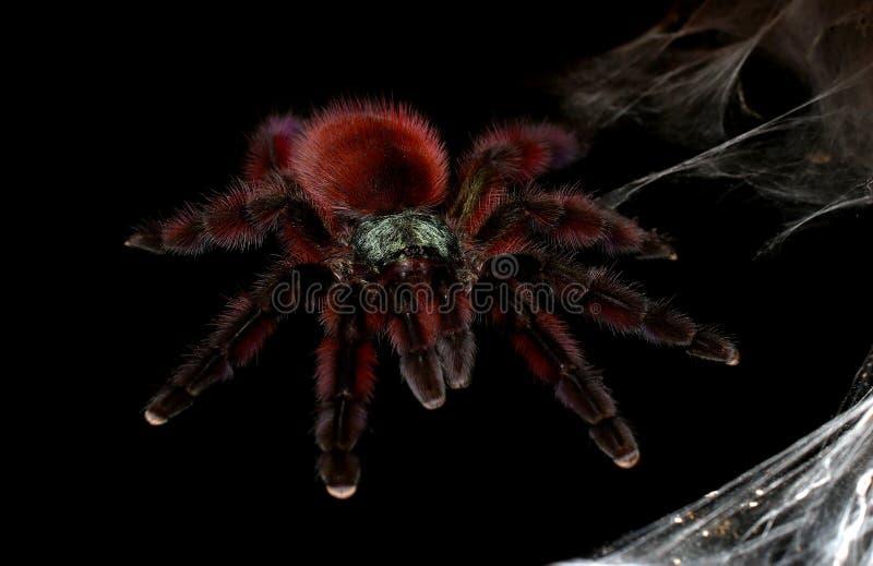 成年女性安的列斯桃红色脚趾塔兰图拉毒蛛 库存图片