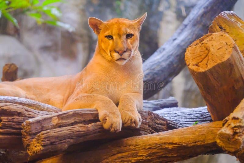 成年女性美洲狮美洲狮concolor 免版税库存图片