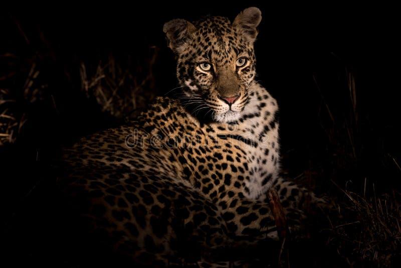 成年女性豹子休息 图库摄影