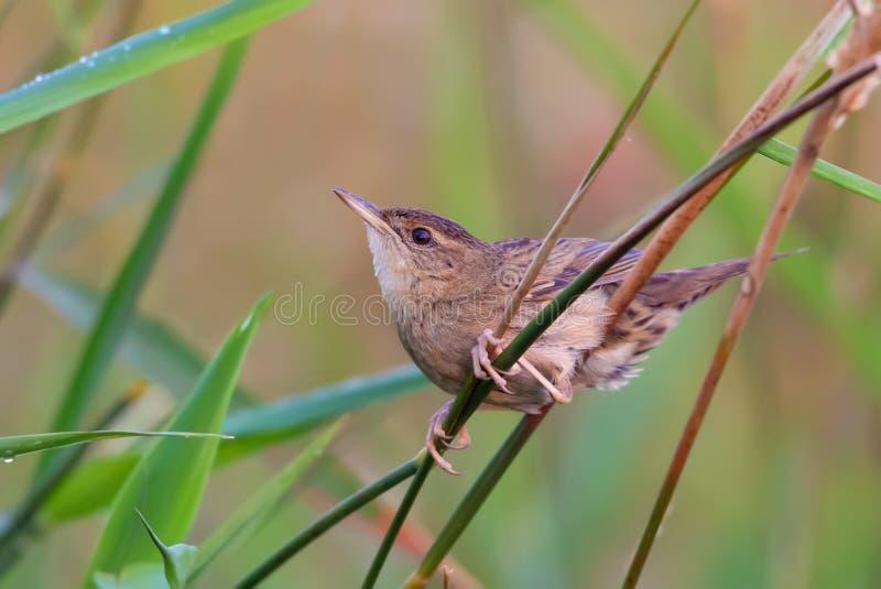 成年男性共同的蚂蚱鸣鸟在草坐深深 免版税库存图片