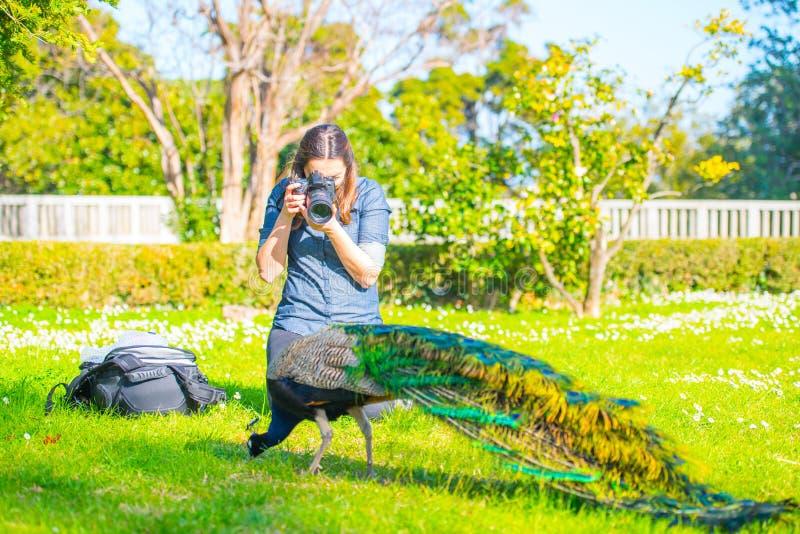 成年男性孔雀在夏天庭院里 库存图片