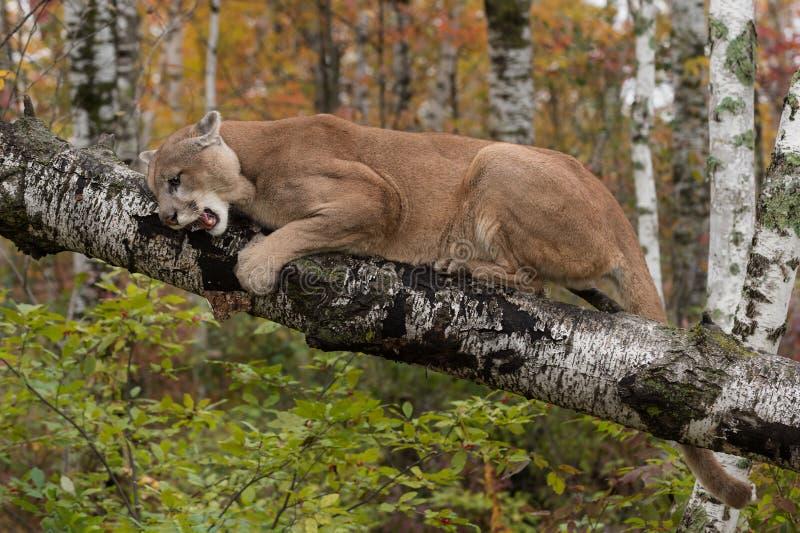 成年男性美洲狮在桦树分支的美洲狮concolor咆哮下来 免版税图库摄影