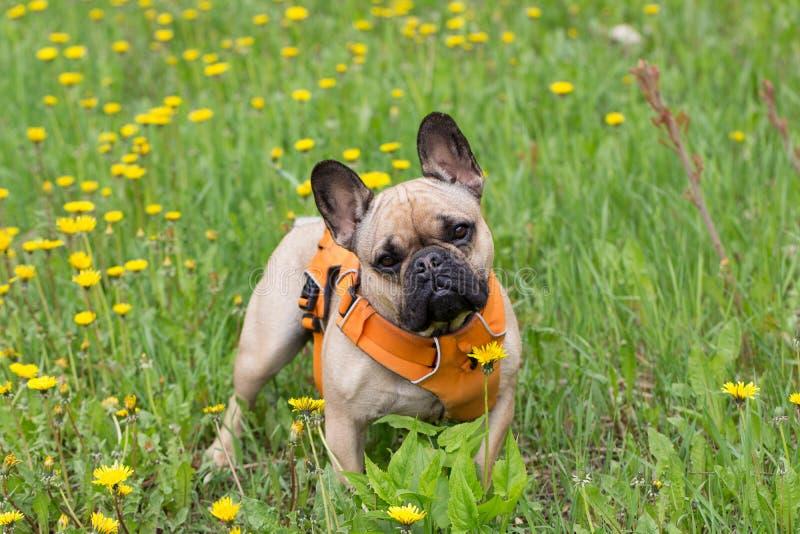 成年男性苍白小鹿法国牛头犬身分在蒲公英盖的草坪开花在春天 免版税库存照片
