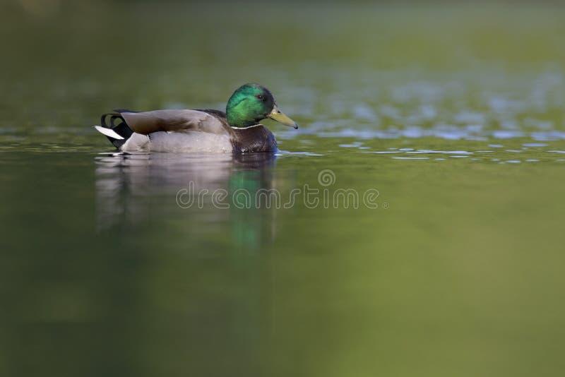 成年男性野鸭鸭子游泳和搜寻在一个城市池塘在首都柏林德国 库存图片