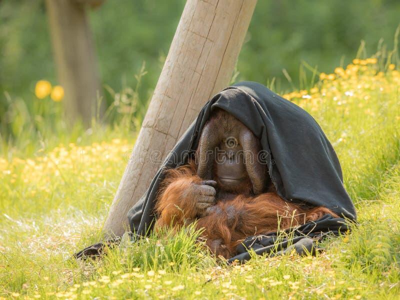 成年男性-坐户外在绿草的Bornean猩猩-类人猿pygmaeus,部分掩藏在一条黑毯子下 免版税库存照片