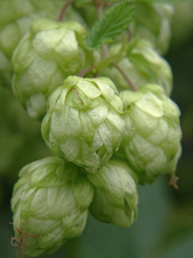 成熟啤酒花球果树。 免版税库存图片