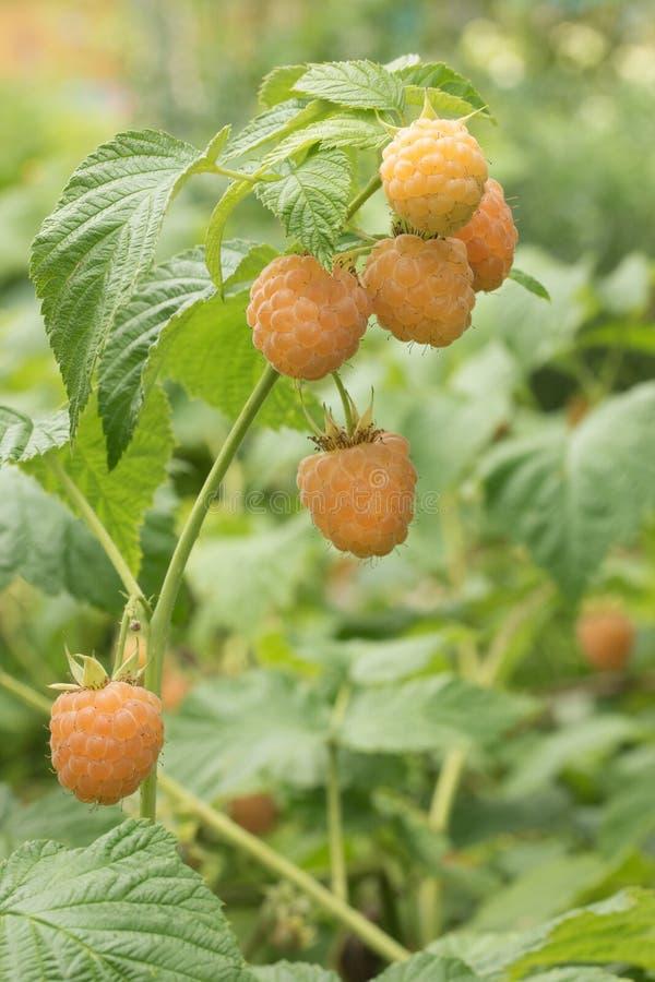 成熟在分支的莓果黄色莓 库存照片