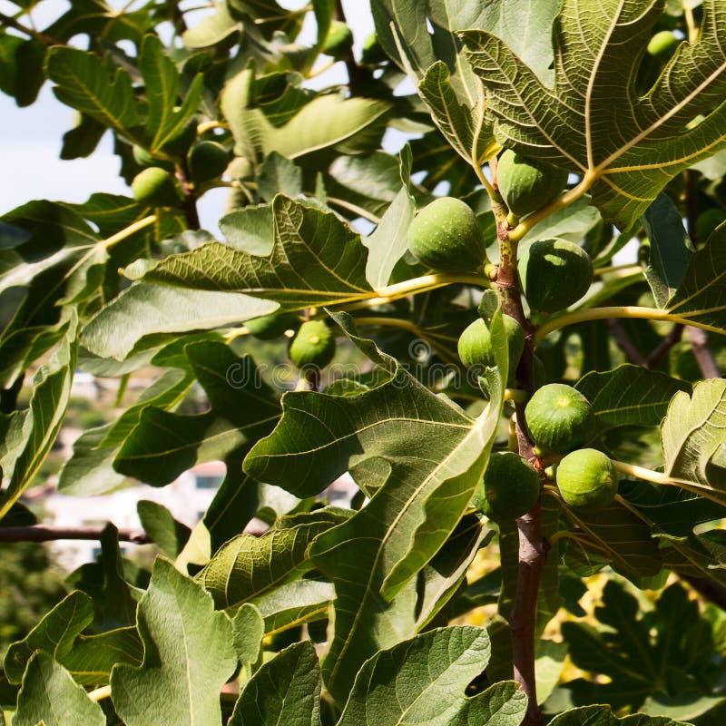 成熟在日期水果树。 库存照片