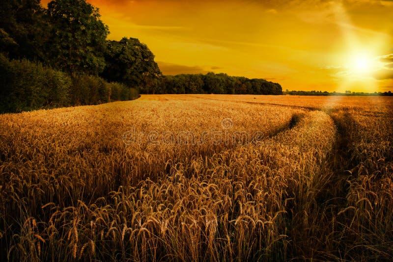 成熟在晚夏太阳,萨罗普郡的麦子 图库摄影
