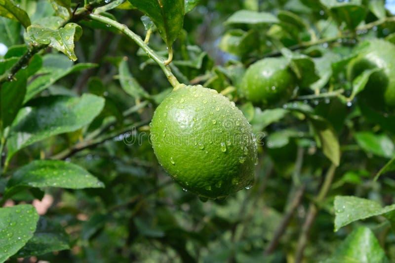 成熟在柠檬树的柠檬 免版税图库摄影