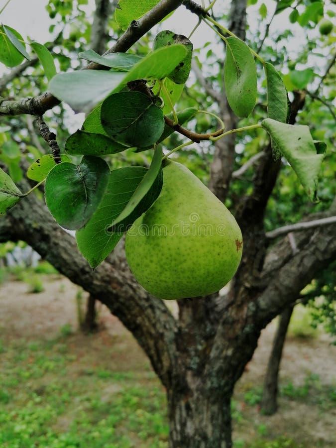 成熟在树的巴特利特梨 庭院,农场 库存照片