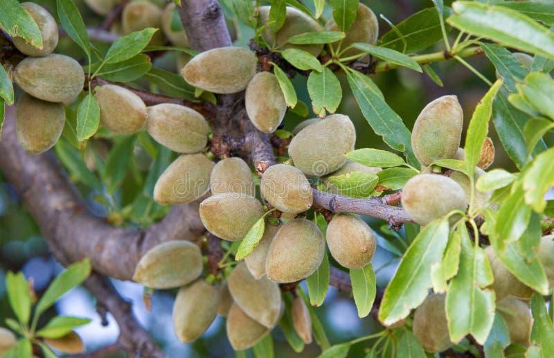 成熟在树的杏仁 免版税图库摄影