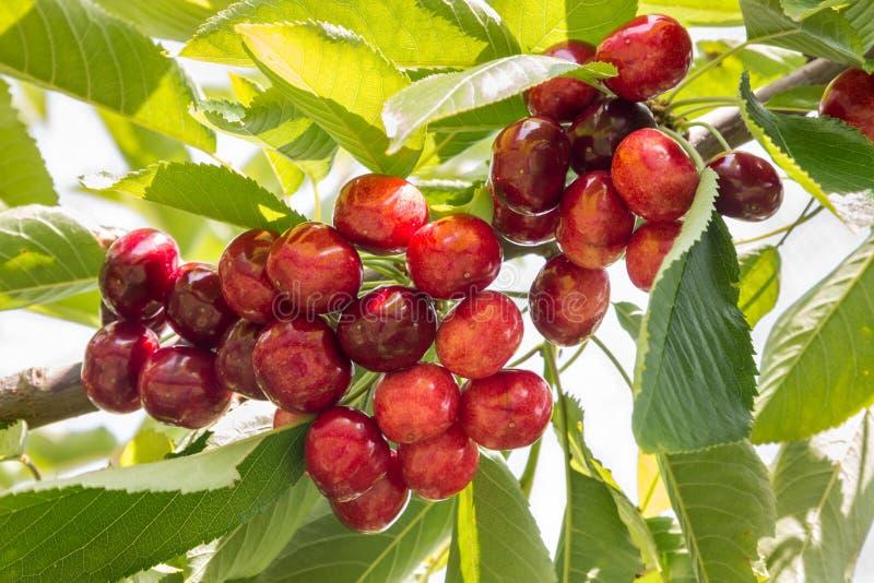 成熟在树的束红色樱桃 免版税库存照片
