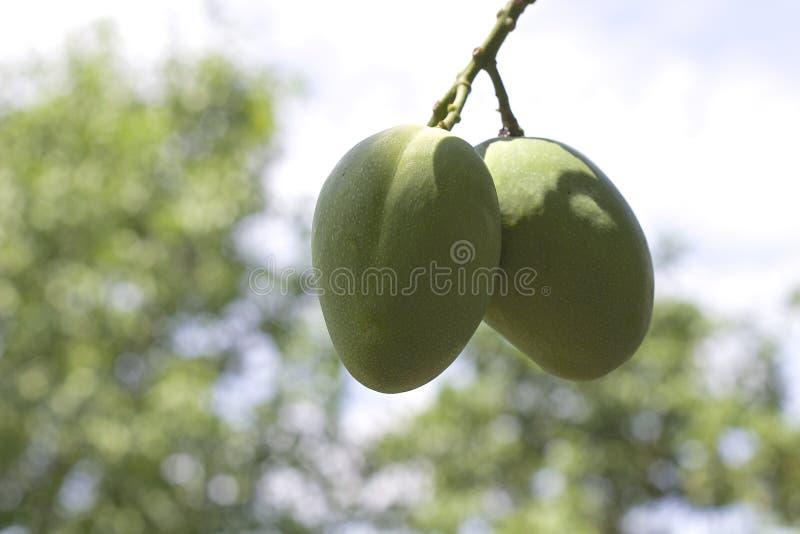 成熟在树的芒果 免版税库存图片
