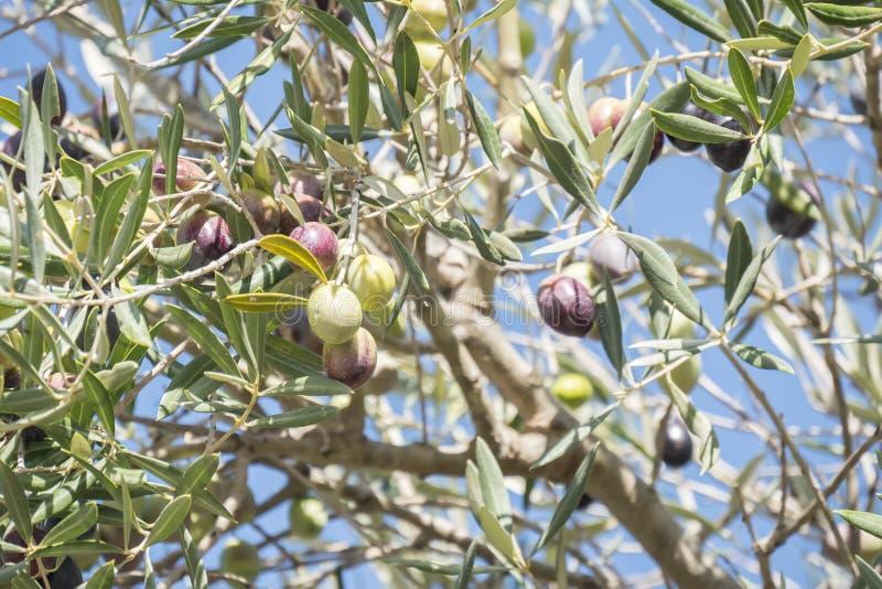 成熟在树的黑橄榄 库存图片