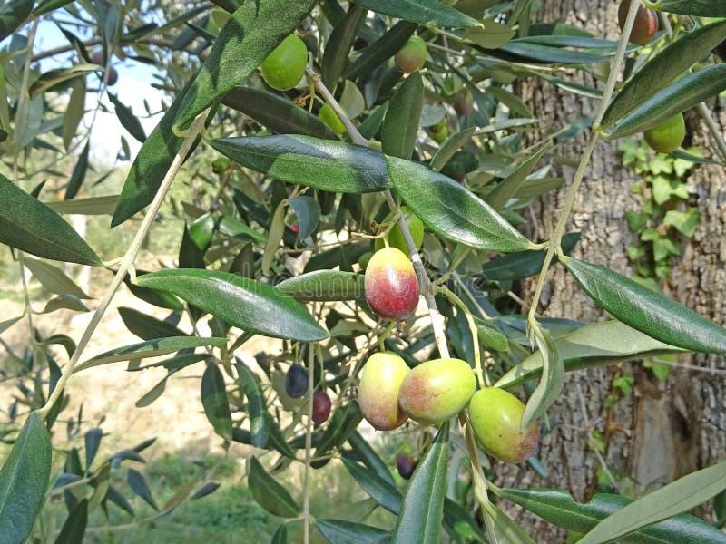成熟在植物的橄榄 免版税图库摄影
