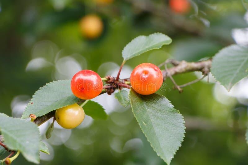 成熟在樱桃树的小的樱桃