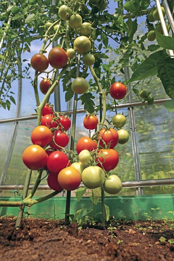 成熟在灌木的红色和绿色蕃茄自温室 库存图片