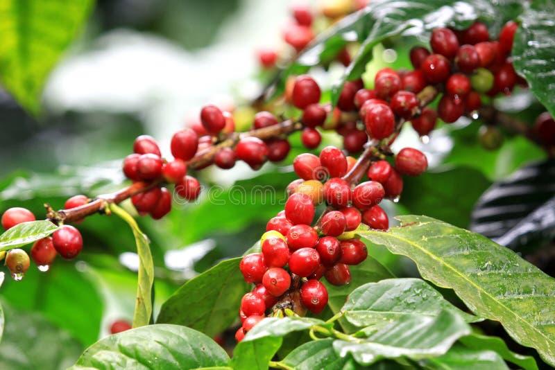 成熟在结构树的咖啡豆 免版税库存图片